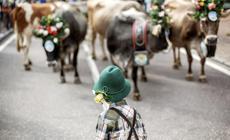Zobacz wybory najpiękniejszej... krowy!