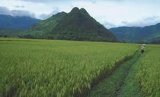 Oprócz ryżu w Wietnamie uprawia się lawsonię bezbronną, czyli hennę. Z jej liści produkowany jest gr