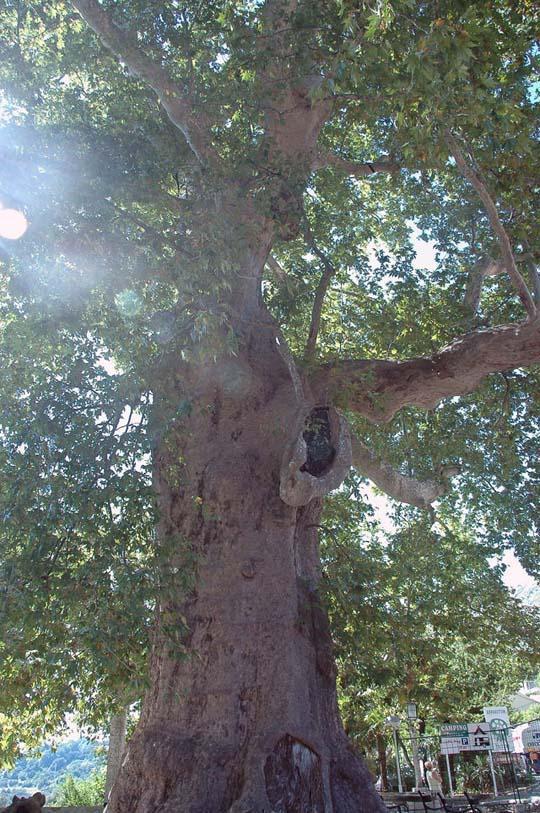 To drzewo zachwyca swoją potęgą