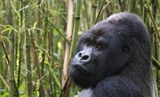 Rwanda, goryle