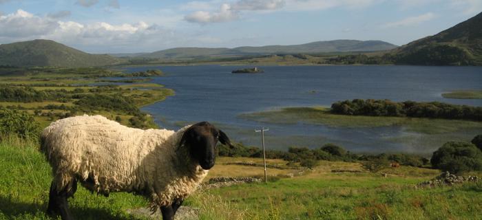 Owca na pastwisku w Connemara w zachodneij Irlandii