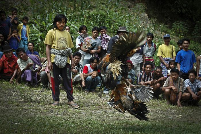 Walki kogutów w miejscowości Mimanga