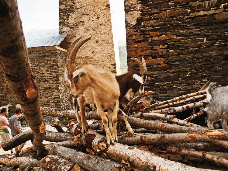 Po uliczkach Ushguli biegają kozy. Norma jest też spotkanie z wołem, krową czy półdzika świnią.