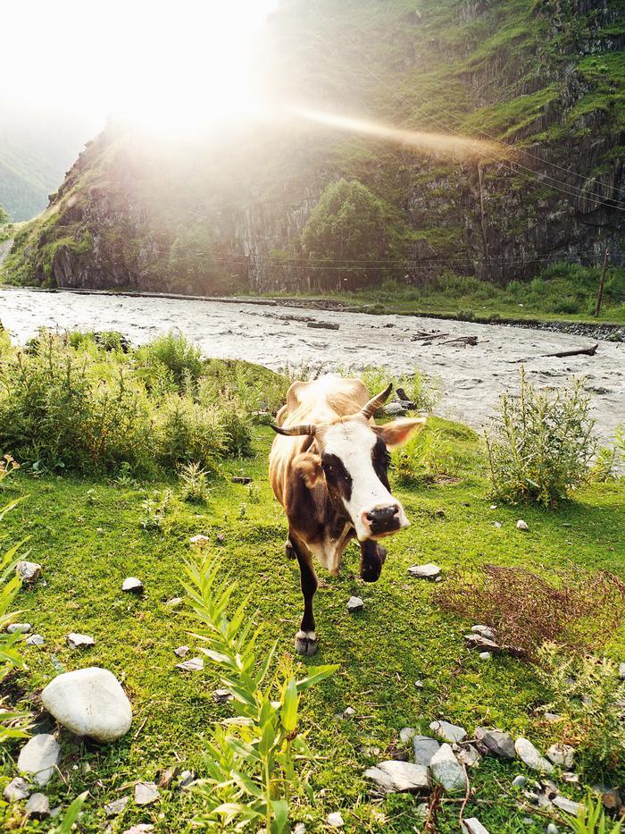 Gdzieś wysoko w górach pasą się krowy. Często wstępują na drogę i nie sposób ich przepędzić.