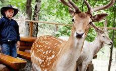 Najłagodniejsze ze zwierzaków w Leśnym Parku Niespodzianek biegają swobodnie po nieogrodzonym terenie