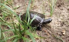 W Poleskim Parku Narodowym żyje największa w Europie populacja żółwia błotnego. Na zdjęciu żółwica Magda