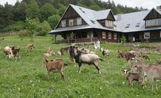 Farfurnia i kozy