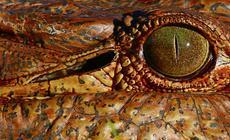 Na liście CITES figurują między innymi wyroby z krokodyla