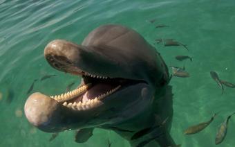 Pomysł na walentynki: Delfin