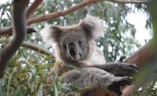 Miś Koala, Australia