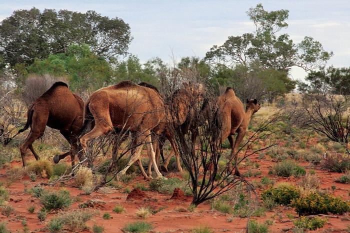 Spotkanie dzikich wielbłądów na Pustyni Gibsona nie należy do rzadkości. Zwierzęta doskonale zadomowiły się waustralijskim interiorze