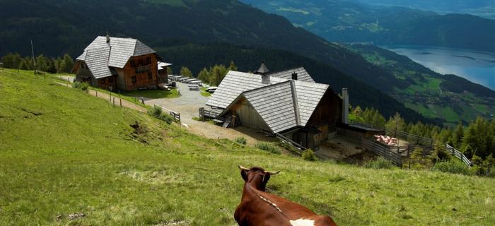 """Szczęśliwe krowy dają zdrowe mleko"""", powiedział mój dawny wykładowca. Te austriackie sprawiały wrażenie najszczęśliwszych na świecie"""