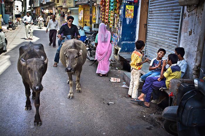 Mylone ze świętymi krowami bawoły