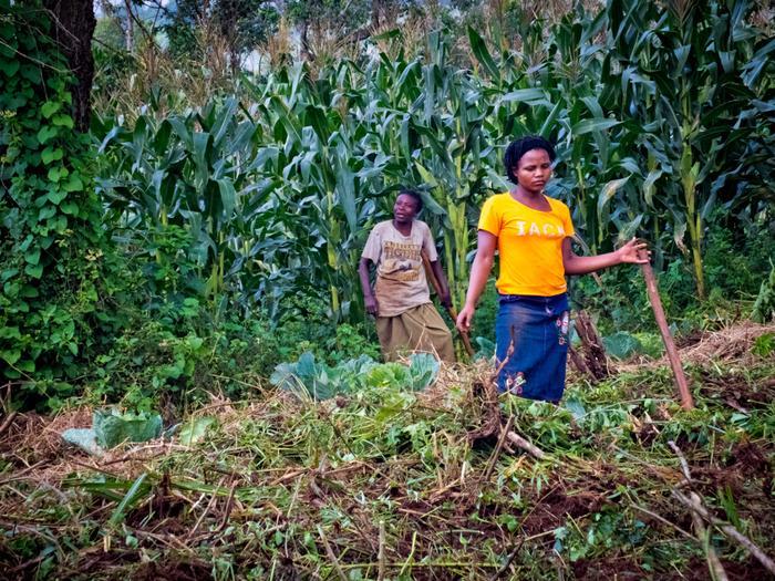 Praca przy zbiorach kukurydzy