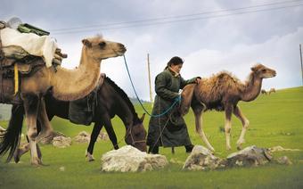 """Mongołowie kilka razy wroku zmieniają """"miejsce zamieszkania"""", szukając lepszych pastwisk dla swoich stad"""