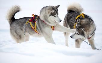 Szklarska Poręba atrakcje: Border Rush, psy husky