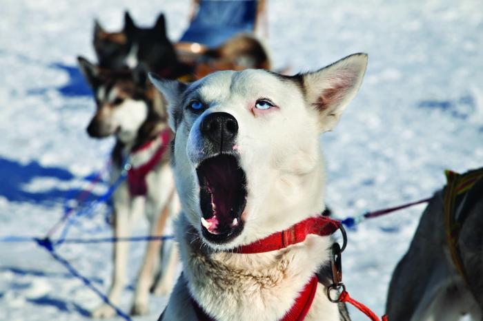 Psi zaprzęg w Norwegii
