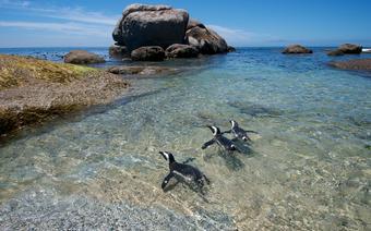 Każdy ruch pingwinów obserwują setki turystów
