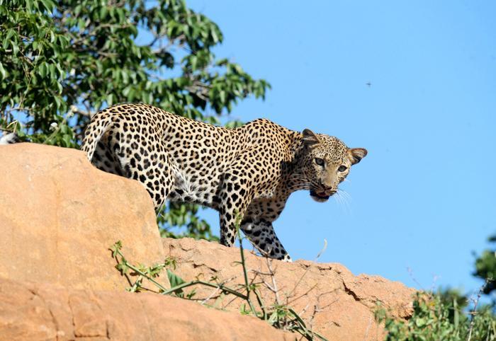 Lampart w Parku Tsavo