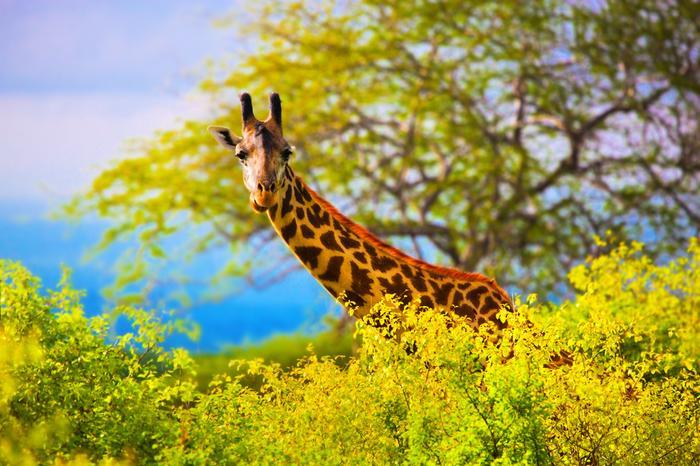 Żyrafa, safari w Kenii