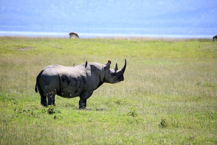 Nosorożec w Nukuru