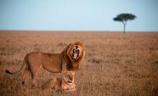 Lwy w Masai Mara