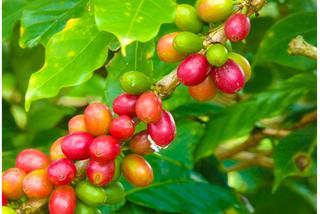 Herbaciarze w regionie kawy w Kolumbii