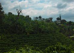 Jedna z kawowych farm