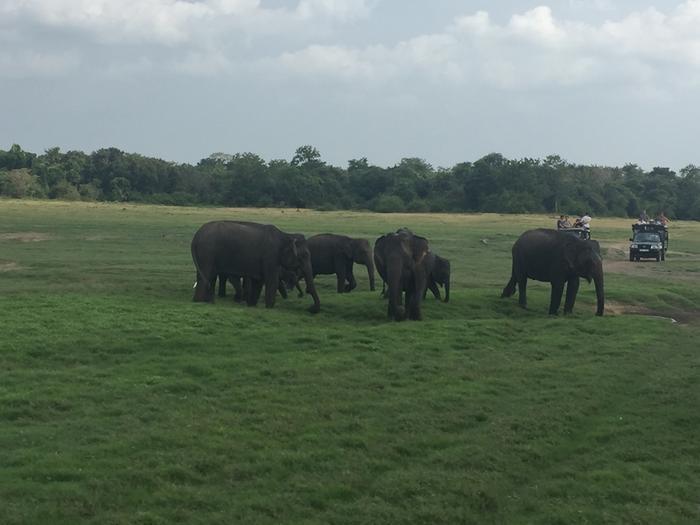 Słonie w Kaudulla