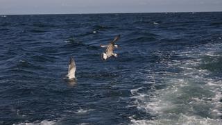 Mewy nurkujące po rybie wnętrzności.