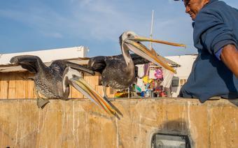 Pelikany w Paracas