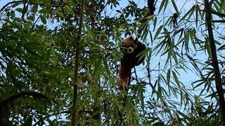 Czerwona Panda w środowisku naturalnym