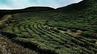 Wzgórza herbaty.