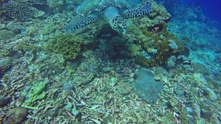 Morski żółw na Gili Trawangan