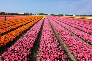 Zamieniłabym sto róż, na jednego tulipana z Holandii