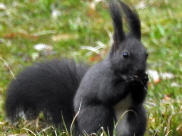 Czarna wiewiórka w Kudowie Zdroju
