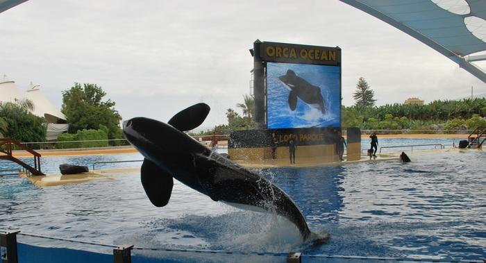 Popis orki w Loro Park.
