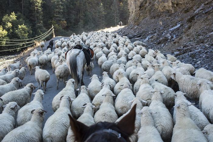 Przejście z naszym stadem owiec