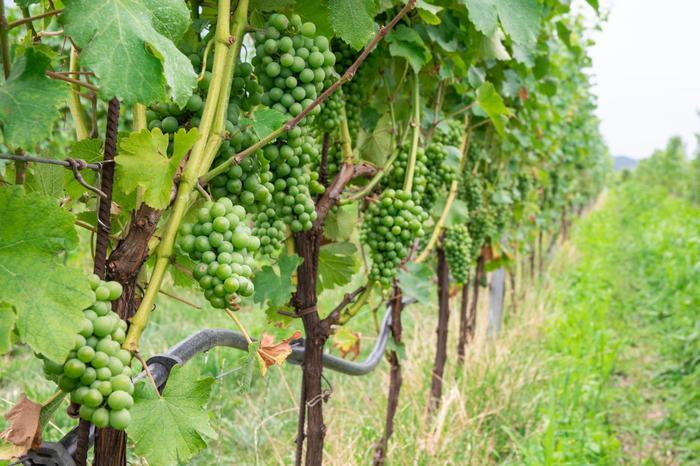 Winnice w Pietramurata