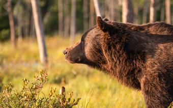 Finlandia_fotorelacja_niedźwiedź3