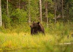 Finlandia_fotorelacja_niedźwiedź6