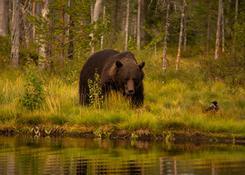 Finlandia_fotorelacja_niedźwiedź7