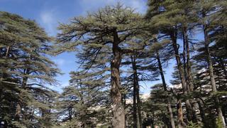 Podobno libańskie cedy potrafią połączyć ludzkie myśli ze światem niebios