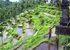 Tarasy ryżowe,Bali,Indonezja