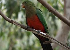 King parrot, Australia