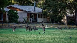 Dzikie kangury, Grampians