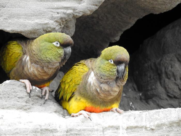 Papugi Patagonki