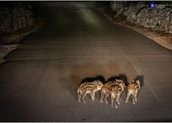 Chorwacja - dziki