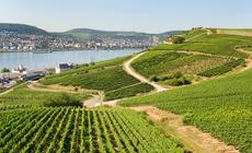Winnice w Rudesheim