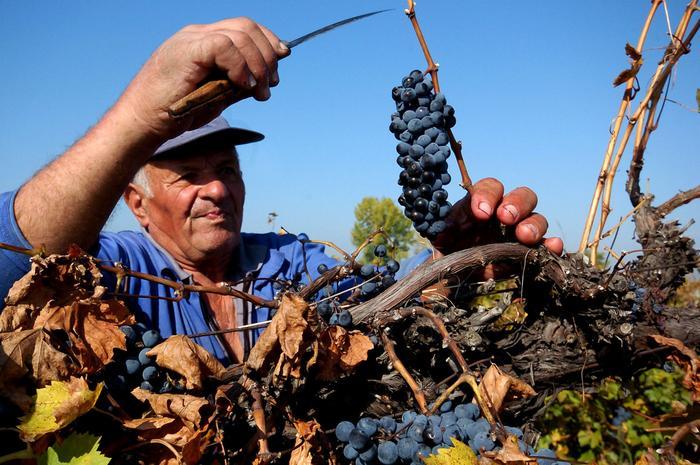 Zbiory winogron w Bułgarii